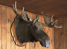 Stuffed moose head Royalty Free Stock Photography