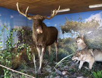 Stuffed moose and wolves. Royalty Free Stock Photo