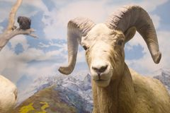 Stuffed mountain sheep in museum stock photo