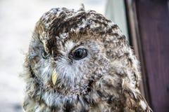 Stuffed Owl Royalty Free Stock Photo