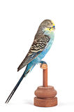 Stuffed parrot. Taxidermy - Blue and yellow parrot royalty free stock images