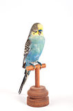 Stuffed parrot. Taxidermy - Blue and yellow parrot stock image