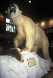 Stuffed Polar Bear in Fairbanks Museum/Planetarium in St. Johnsbury, VT Royalty Free Stock Photography