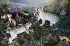 Stuffed predatory animals of the Altai Territory. Stock Image