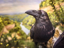 Stuffed Raven Stock Photography