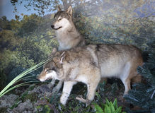 Stuffed two wolves. Royalty Free Stock Photo