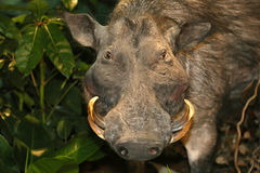 Stuffed warthog african wild pig Royalty Free Stock Photography