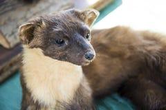 Stuffed weasel Royalty Free Stock Image