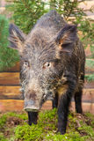 Stuffed wild boar Stock Photo