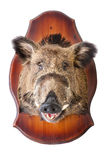 Stuffed wild boar head. On white, taxidermy Stock Photography