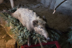 Stuffed wild boar laying on on conifer tree branches. In museum Stock Image