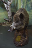Stuffed wild boar in the museum. Stock Photo