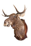 Stuffed wild elk. Head on white, taxidermy Stock Images