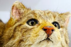 Head of a stuffed european wildcat taxidermy in front of a white background Royalty Free Stock Photography