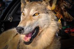 Stuffed Wolf Royalty Free Stock Image