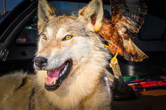 Stuffed Wolf Stock Photos