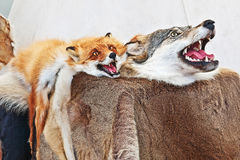 Stuffed wolf and fox. Taxidermy of wild animals. Fur rug. Stock Photos