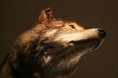 Head of a stuffed wolf taxidermy in front of a black background Stock Photography