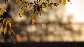 Stuifmeel en boombladeren in de wind bij schemer en verkeer stock footage