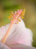 Stuifmeel roze bloem Stock Afbeelding