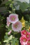 Stuifmeel, stokroos in de tuin Stock Foto