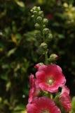 Stuifmeel, stokroos in de tuin Royalty-vrije Stock Foto