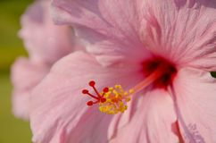 Stuifmeel van roze Hibiscus. Royalty-vrije Stock Afbeeldingen