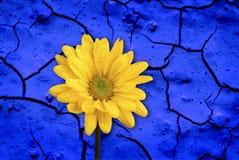 Stuitende Blauwe Muur en Gele Bloem Stock Afbeeldingen