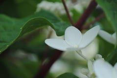 Stuk Ð  van hydrangea hortensia royalty-vrije stock afbeelding