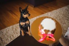 Stuk speelgoed terirer die de nadruk van de verjaardagscake op hond bekijken Stock Afbeeldingen