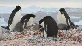 Stuk van de kolonie van Adelie-pinguïnen die reeds kuikens op het Antarctische eiland hebben stock video