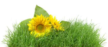 Stuk van Gras met Zonnebloem stock foto's