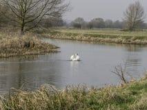 Stum manlig svan i floden stora Ouse Royaltyfri Bild