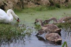 Stum svan, cygnusolor, med tre unga svanar fotografering för bildbyråer