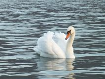 Stum svan med ängelvingar royaltyfri bild