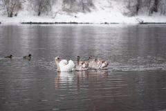 Stum svan med unga svanar i flodvinterlandskapet royaltyfria bilder