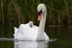 Stum svan med unga svanen Fotografering för Bildbyråer