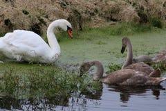 Stum svan och unga svanar på sidan av den lilla floden royaltyfri bild