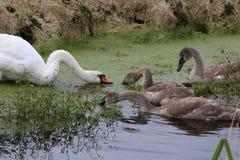 Stum svan och unga svanar som matar på ogräs arkivbilder