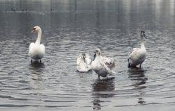 Stum svan och vuxna unga svanar royaltyfria foton