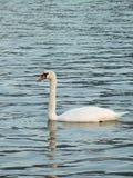 Stum svan på det lugna vattnet fotografering för bildbyråer