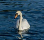 Stum svan på en sjö i Bedfordshire Arkivbilder