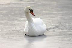 Stum svan på isen, vinter Arkivbilder