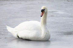 Stum svan på isen, vinter Royaltyfri Bild