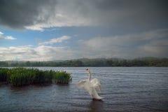 Stum svan på sjön i regnet Arkivfoto