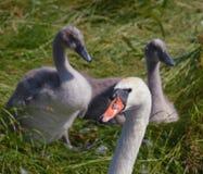 Stum svan som bevakar hennes barn Arkivfoton