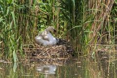 Stum svan som sk?ter hans unga svanar i Maastricht royaltyfri foto