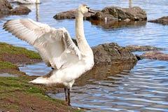 Stum svan som sträcker dess vingar Royaltyfri Bild