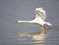 Stum svan som tar av från vattnet royaltyfri bild
