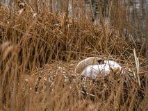 Stum svan sovande i ett nytt rede 6 av 6 Arkivfoton